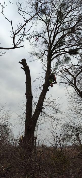 Ділове свіжозрізане дерево Диброва - изображение 1