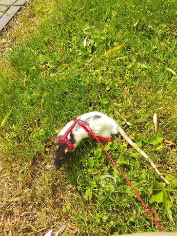 Smyczek dla szczura