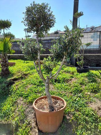 Oliveiras em Liquidação! Últimas Unidades! /Plantas/Árvores/Jardim