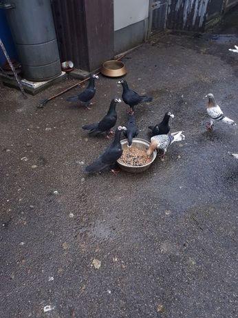Gołębie ozdobne rasy GREK