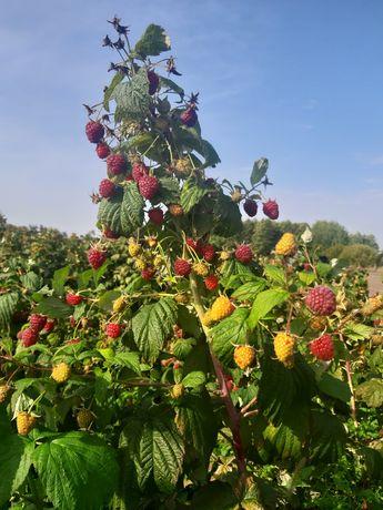 Maliny owoce malin