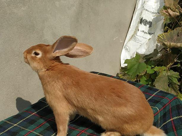 Кролииця, самка, кролі породи Бургундія віком 4.5 міс