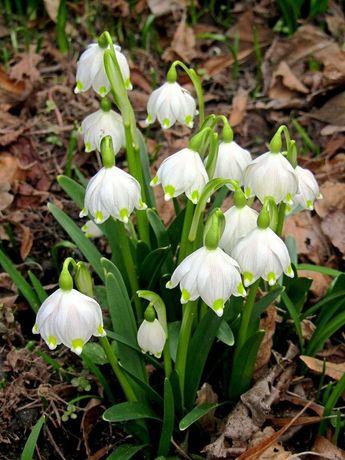 Белоцветник весенний первоцвет