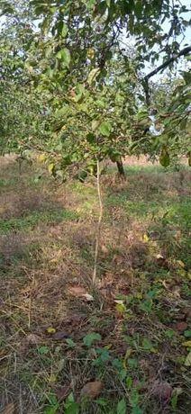 Drzewka jabłonek