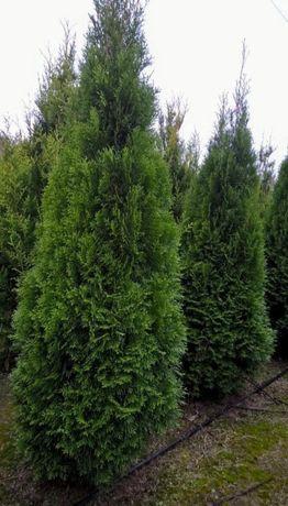 Tuja SZMARAGD 230 cm. TUJE zielone stożkowe kopane z gruntu
