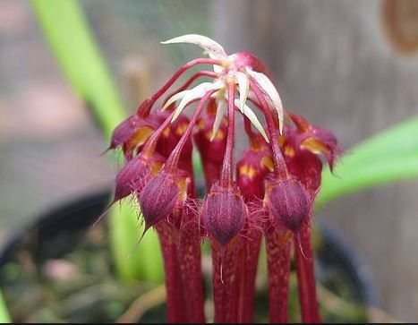 plumatum planta adulta