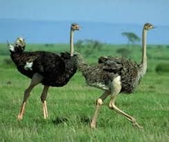 Продам Африканского страуса 2,5 года (Девочки)