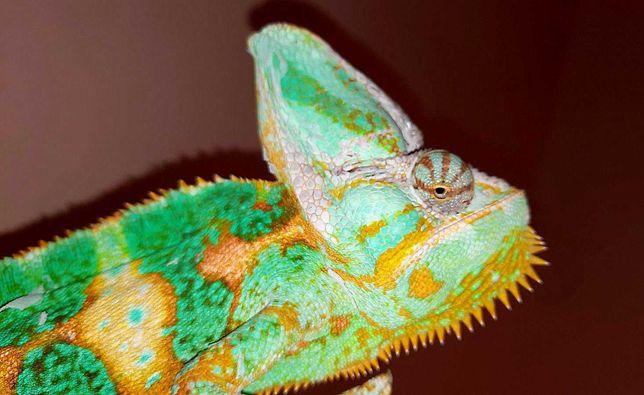 Яркий взрослый простой самец хамелеон разноцветный Фото цена реальные