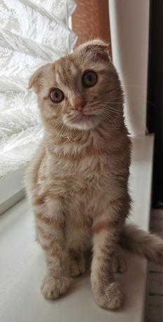 Кот скоттиш фолд на вязку. Ищем девочку