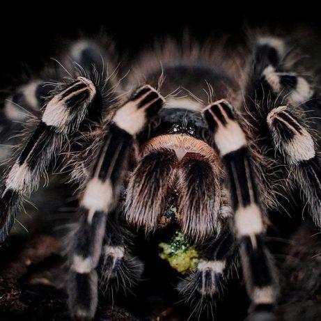 Tarantula Acanthoscurria geniculata самка паука птицееда для новичков