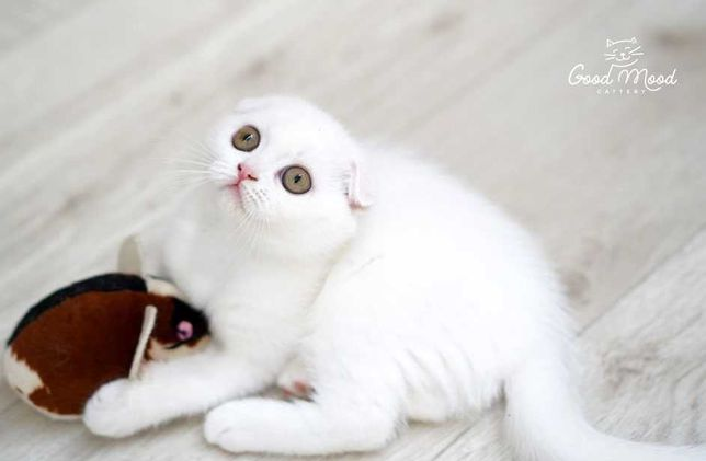 Белый шотландский котенок (Scottish fold)