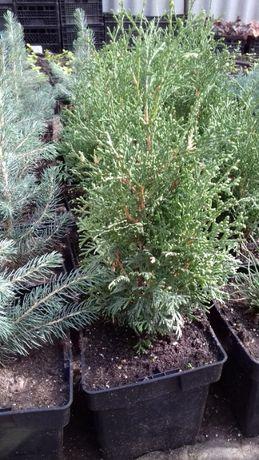 Хвойные растения: туи, можжевельники 2-х литровых горшках.