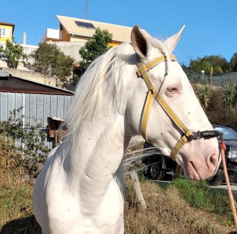 Cavalo lusitano lindo