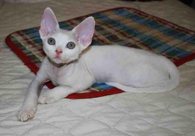 белый котик девон рекс