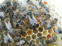 Sprzedam Matki Pszczele, Unasiennione KARPATKA HURT