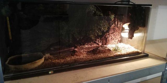 Sprzedam węża zbożowego z terarium gratis