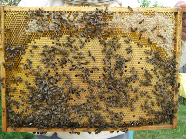 Продам пчелопакеты-отводки
