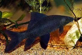 Labeo black Labeo chrysophekadion 3,5-4cm