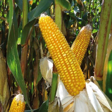 Kukurydza Zawisza Z: 240 K:250 50 tysięcy nasion