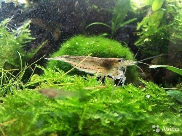 Креветки неокардины Аквариумные растения