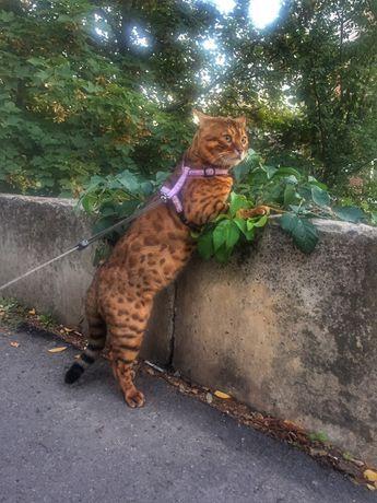 Бенгальский кот вязка поиск невест