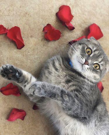 Вязка шотландський висловухий кіт