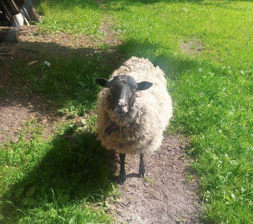 Owce wrzosowki sprzedam