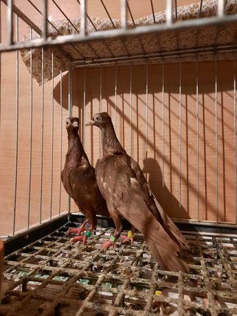 Gołębie samiczki wiedeńskie czerwone
