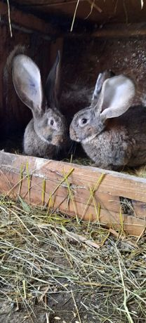 Продаю кролики простую породы кролики великан