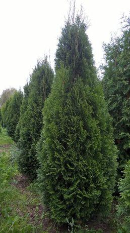 SZMARAGD tuje WYSOKIE 250 cm drzewo zielone szerokie 80 cm - 140 zł.