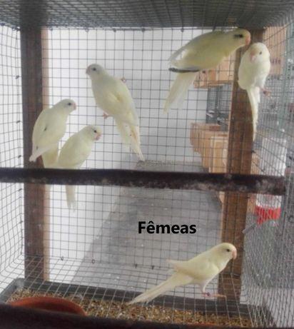 kakarikis varias mutações