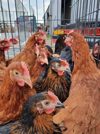 Młode kury nioski ROSA, 22tyg, pierwsze jajko, po szczepieniach