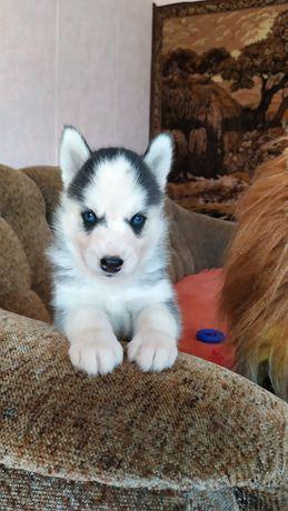 Сибирский волчата Хаски