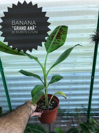 Banana Musa Grande anã