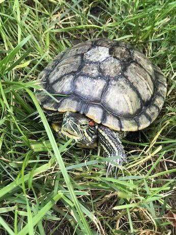 Черепаха красноухая