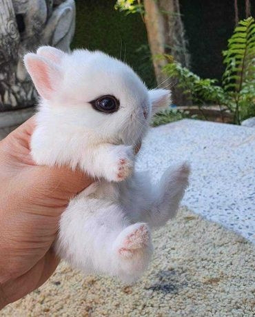 KIT completo coelhos anões mini vacinados e desparasitados