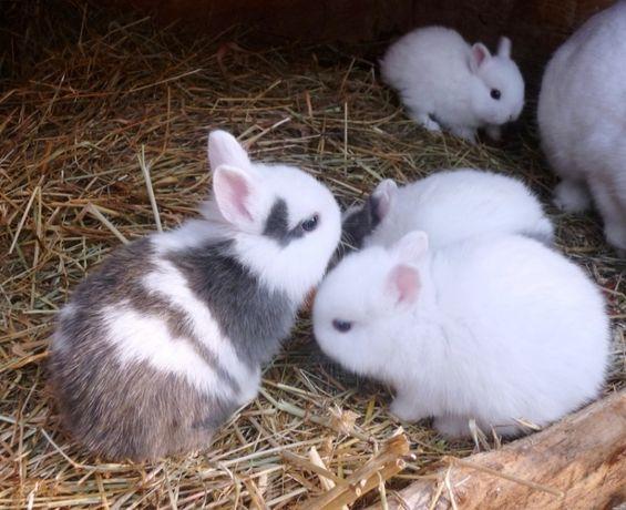 KIT completo coelhos anões desparasitados e vacinados