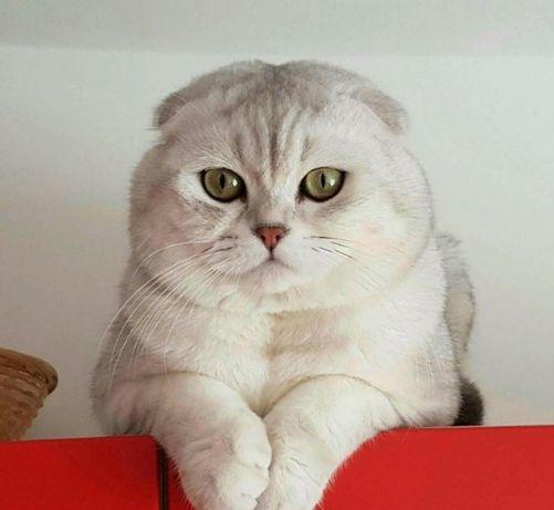Вислоухий шотландский кот приглашает на вязку.Донецк