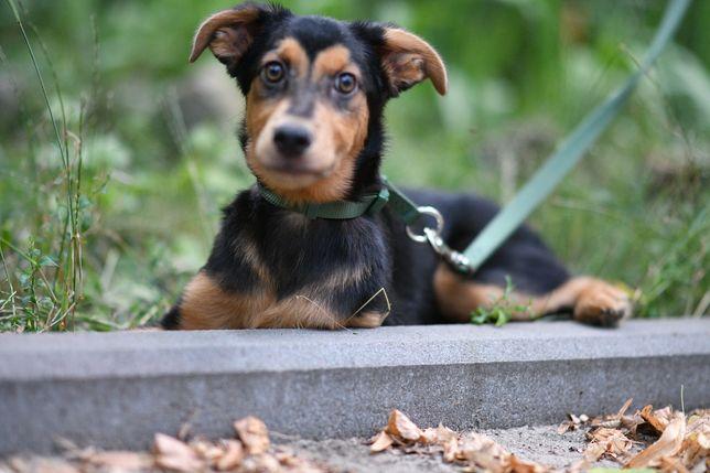Собака щенок щеня РАФ 2.5 месяца собачка