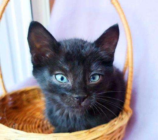 Озорной пушистик, котик Маркус, котенок 1,5 мес