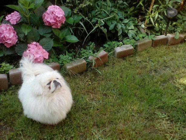 Королевский белый пекинес( вязка)