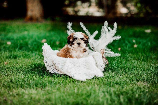 Piesek szczeniak Shih Tzu z rodowodem