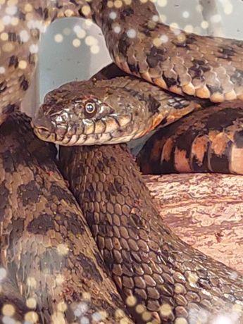 Шахматная змея. Яркая, миролюбивая, неядовитая змея для новичков.
