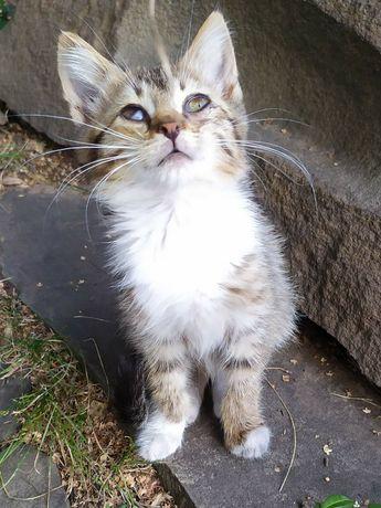Отдам котенка лесного окраса, 4 месяца, мальчик