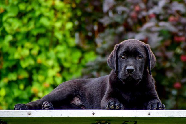 szczenięta labradorów maści czarnej
