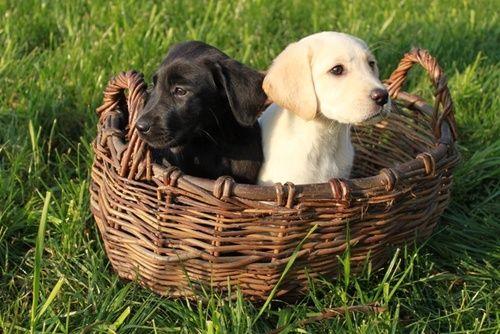 К новому году подарок щенок лабрадора