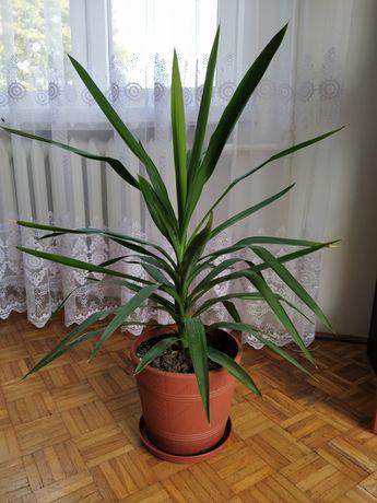 Juka palma kwiat doniczkowy