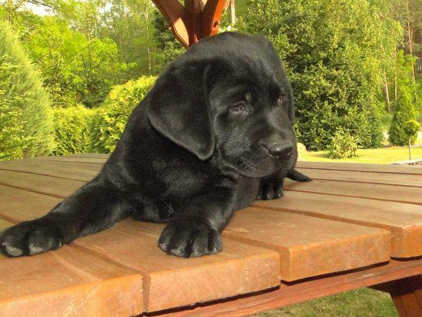 Labradory - śliczne czarne szczeniaki