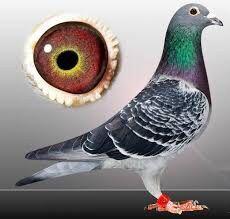 Gołębie pocztowe - Obrączki