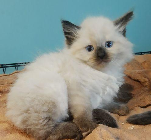 Kotki Syberyjskie wyjątkowe z reklamy